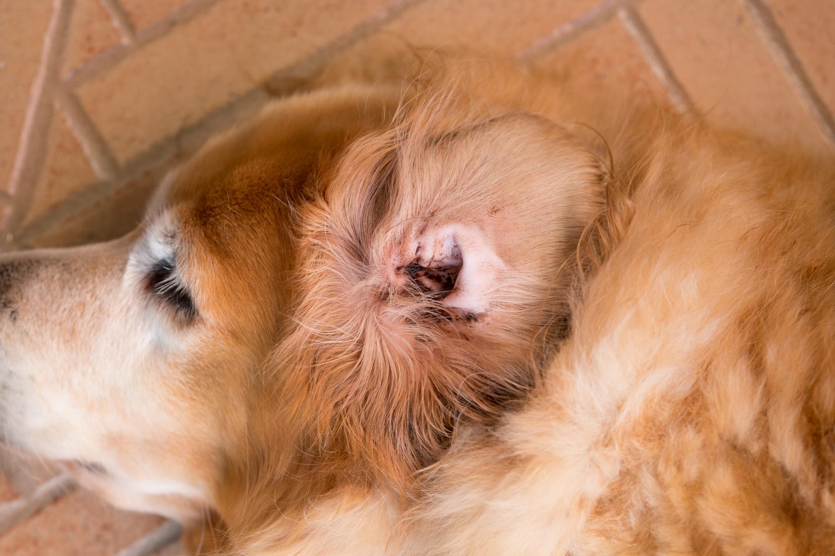 Resultado de imagen para orejas perros