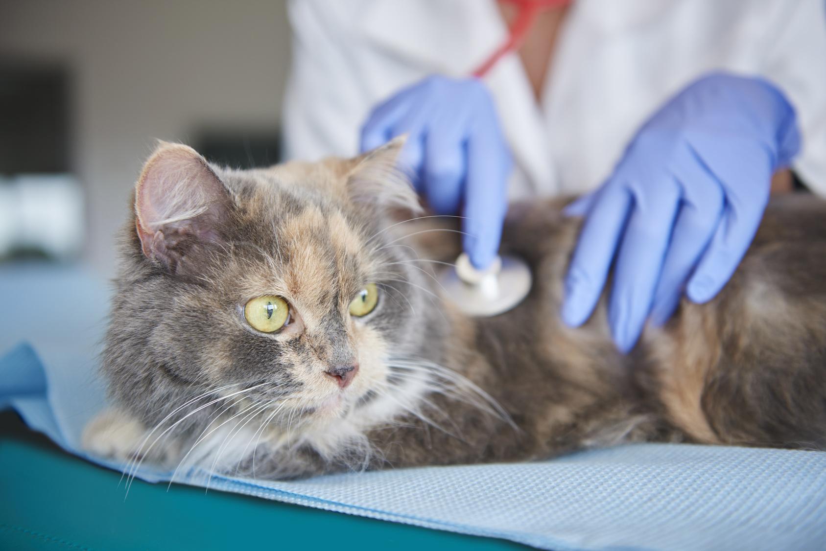 Resultado de imagen para gatos veterinario