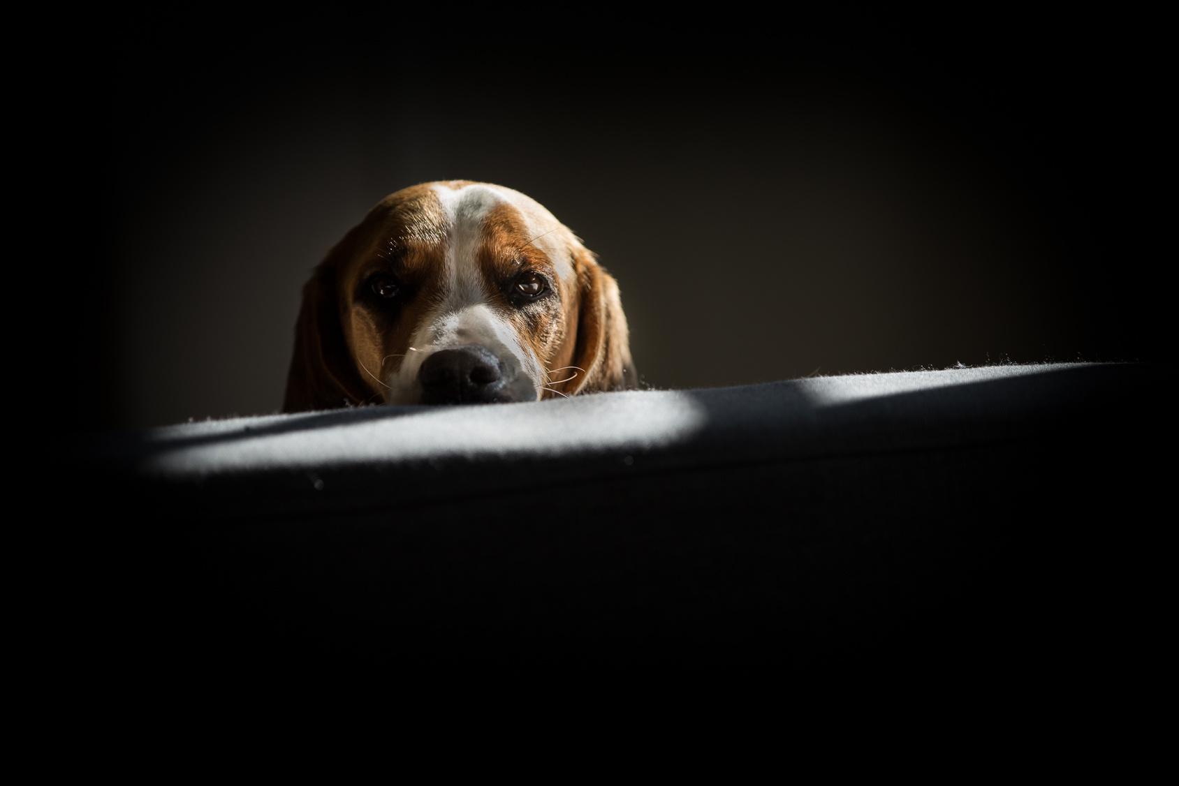 Perro con estrés